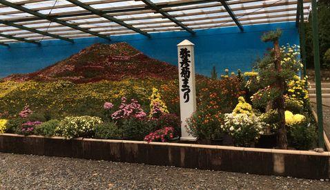 菊の富士山