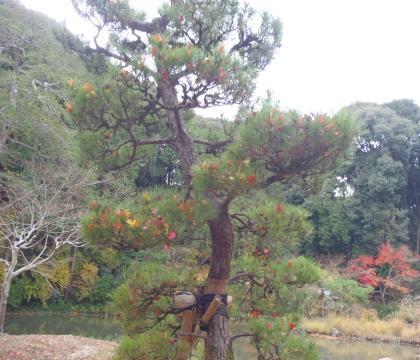 浄瑠璃寺松に紅葉