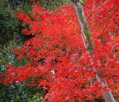 浄瑠璃寺紅葉楓