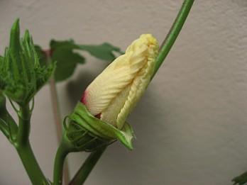 Okra flower 3