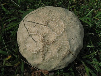 Melon pan shroomy