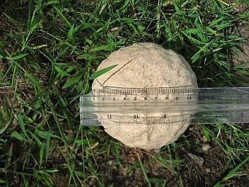 Melon pan shroomy - size