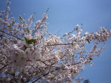 桜IMG_4162