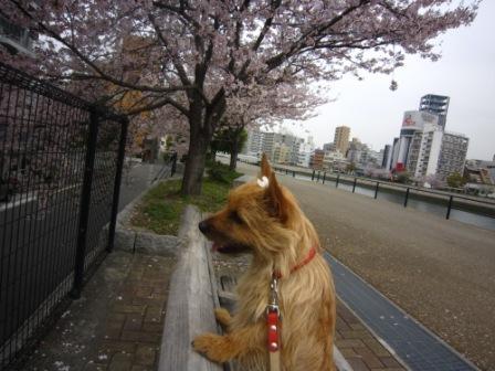 桜のっけIMG_4154