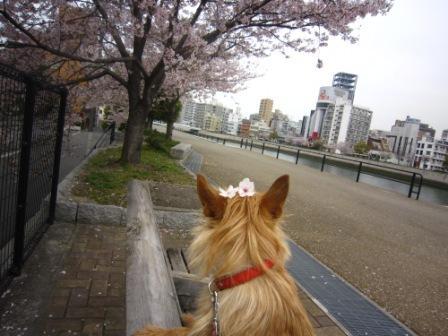 桜のっけIMG_4156