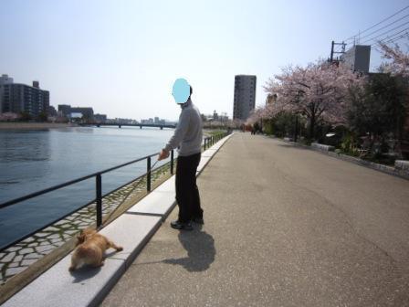 桜満開IMG_4064 - コピー
