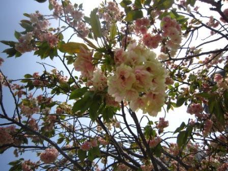 八重桜IMG_4333