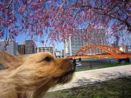 橋と桜とロンとフェリーIMG_4127 - コピー