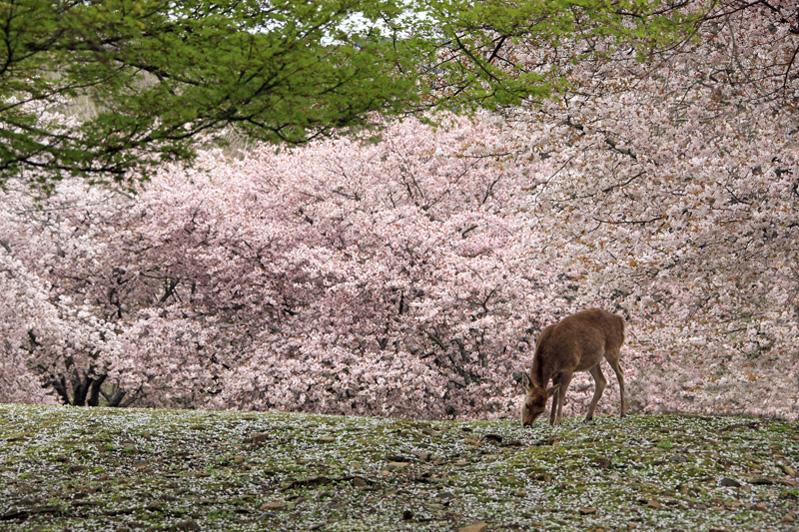 奈良公園:桜の花びらに包まれて…