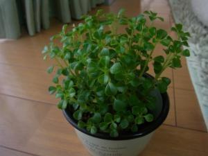 植物1最初縮小