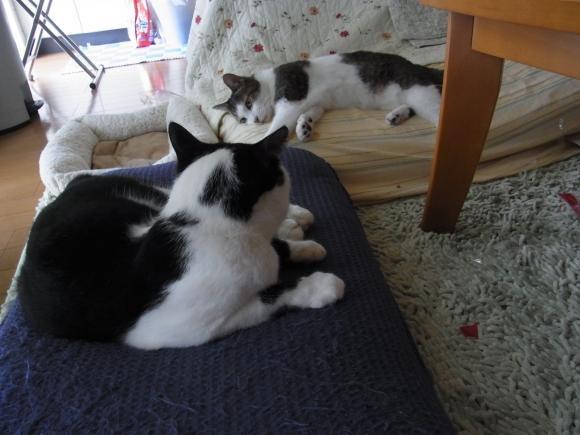 暑い猫縮小