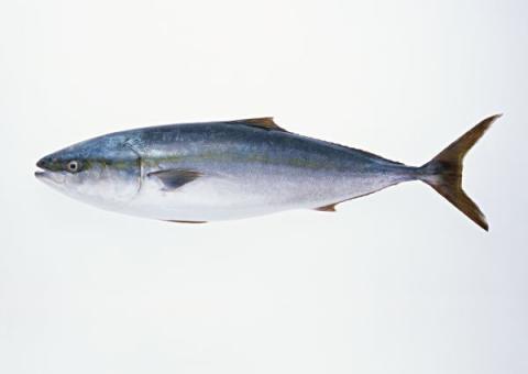 出世魚ブリ縮小