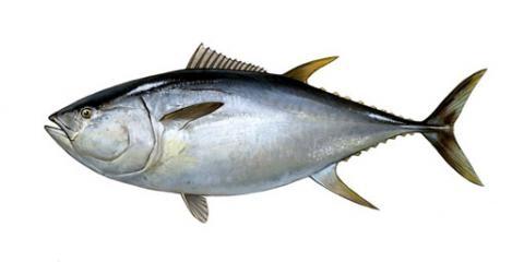 出世魚クロマグロ縮小