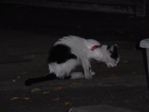 見てしまった首輪猫縮小