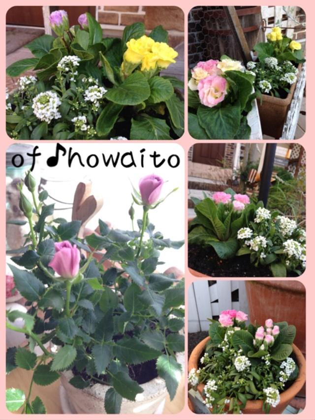 2014.1.15プリムラの花たち