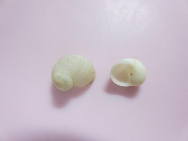 タマシロネズミ