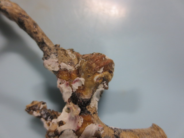 クチナシサンゴヤドリ