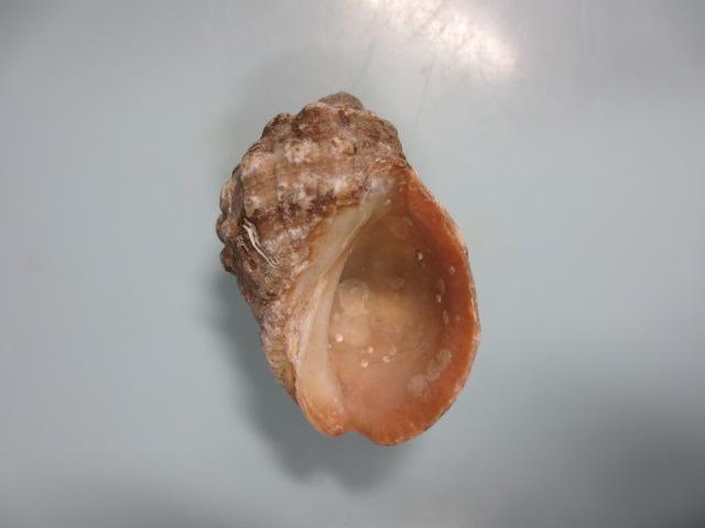 ヒロクチレイシ2