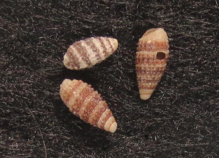 シロスジサナギチビカニモリ