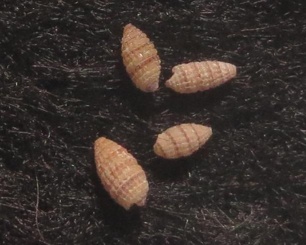 Jaculator semipicta