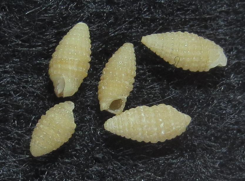 Jaculator sp1