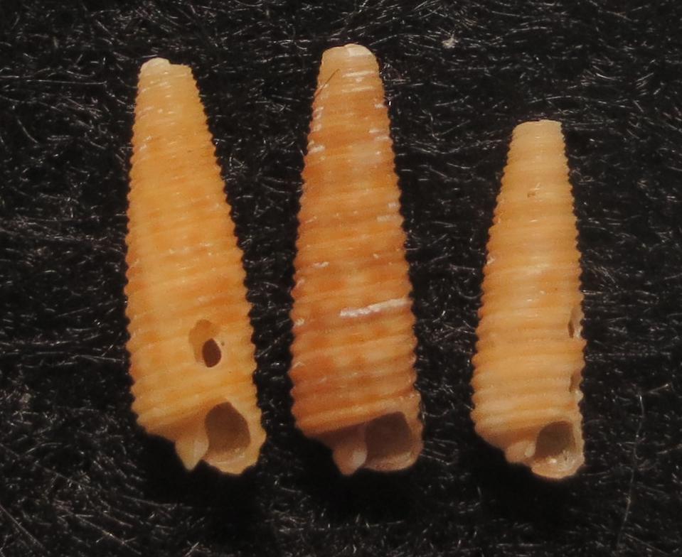 Notoseila sp2
