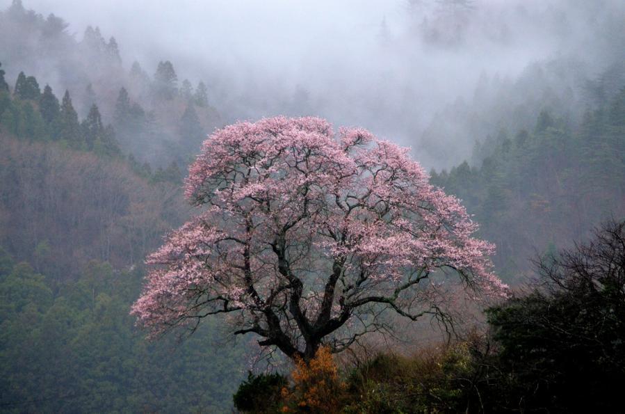 種まき桜4.27 159-2s