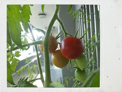 ミニトマト2012