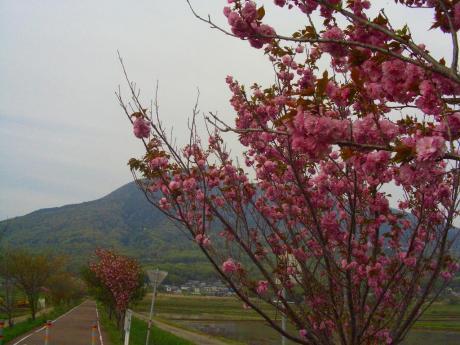 桜と筑波山