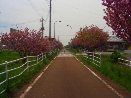 りんりん桜