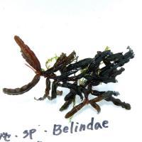 ブセ・Belindae