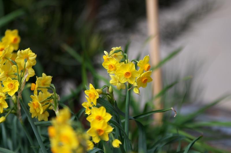 和歌山 南部梅林 黄色の水仙