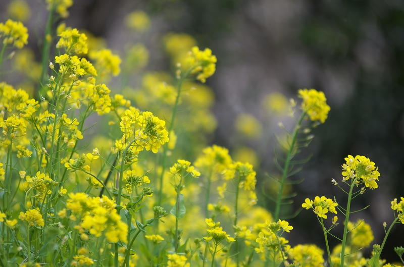 和歌山 南部梅林 菜の花