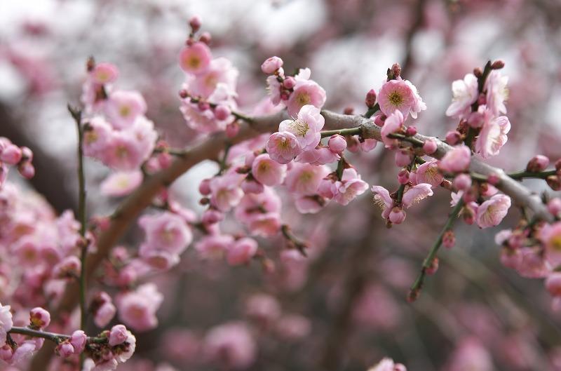 和歌山 南部梅林 ピンクの梅