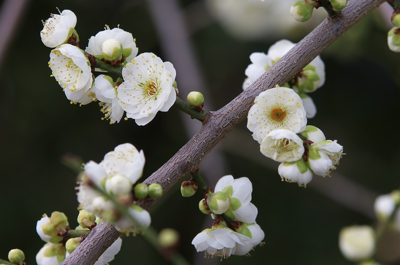 南部梅林 みなべ 開花