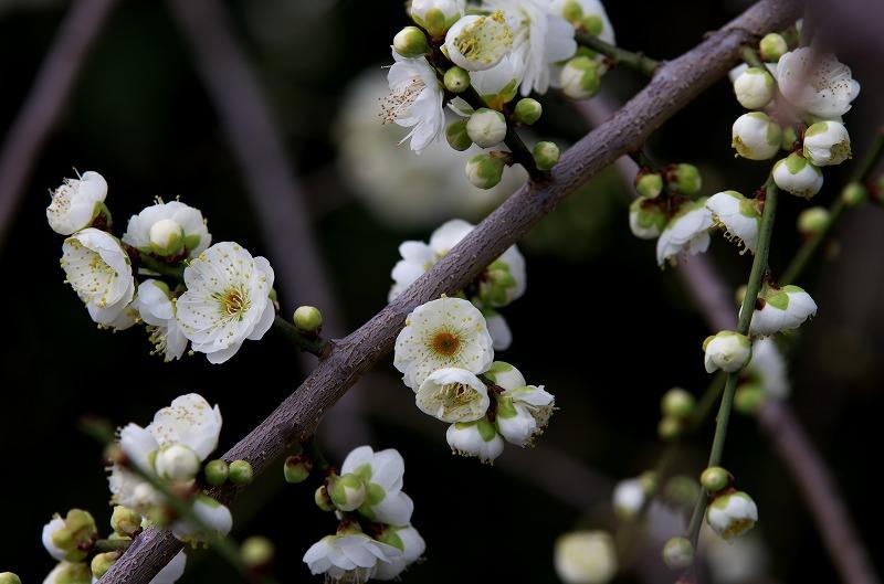 和歌山 南部梅林 白い梅
