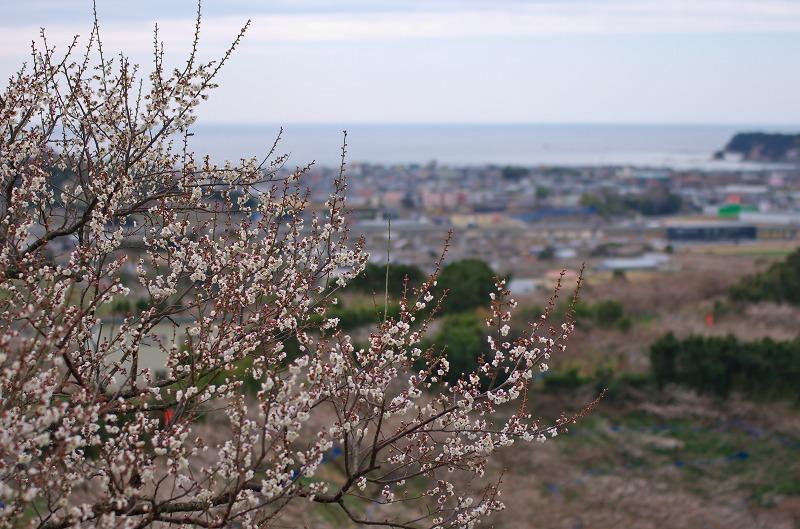 和歌山 南部梅林 梅と眺望