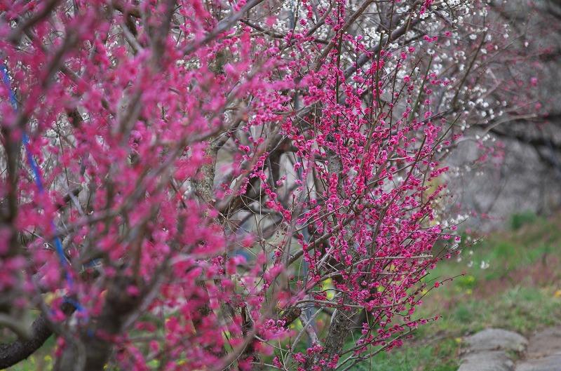 和歌山 南部梅林 濃いピンクの梅