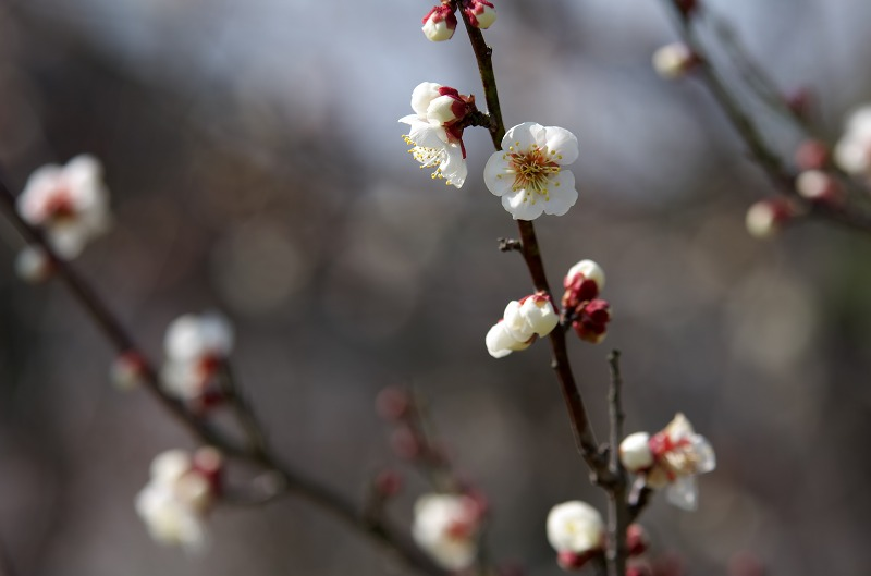 和歌山電鐵 伊太祈曽駅周辺の梅の花