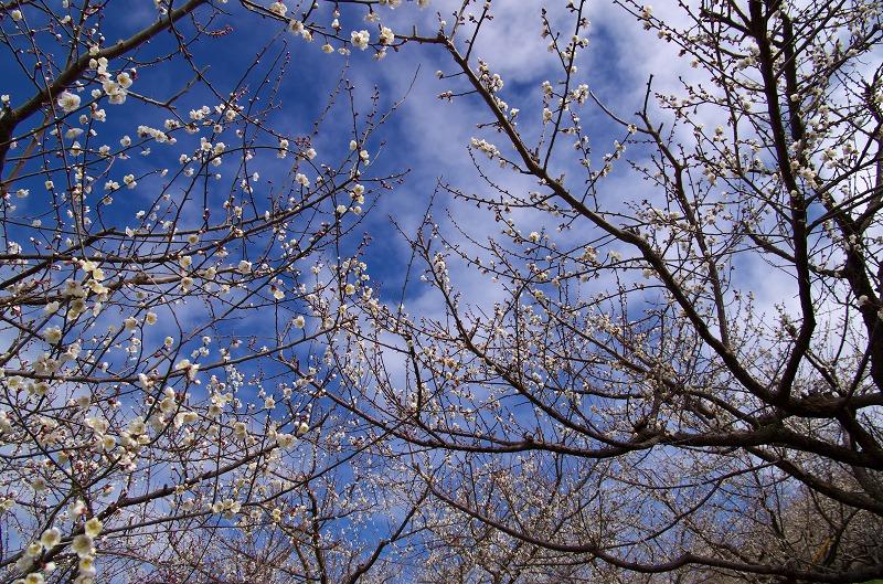 和歌山 南部梅林 梅と青空