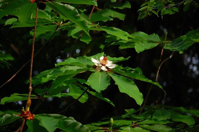 朴の木の花が咲き出しました