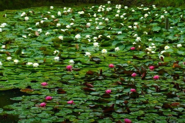 池の睡蓮が見ごろでした♪
