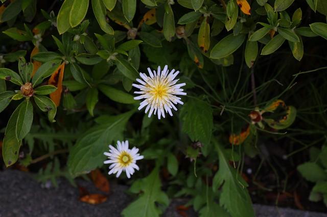 白花タンポポが多いです!