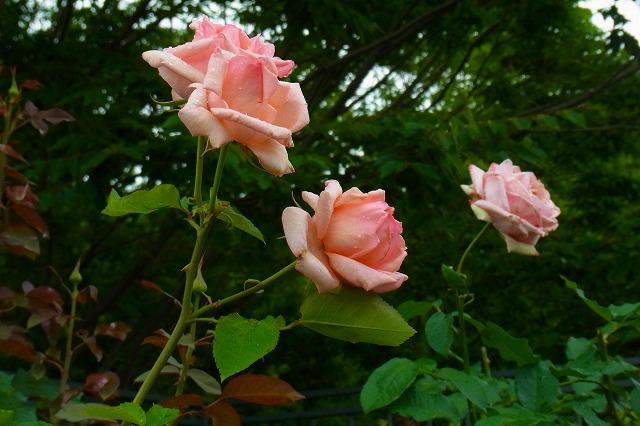 綺麗な色の薔薇です!