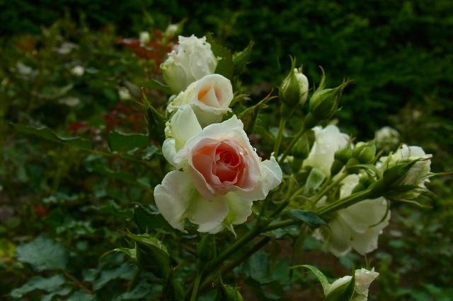 咲きはじめは白で、真ん中だけピンク・・・