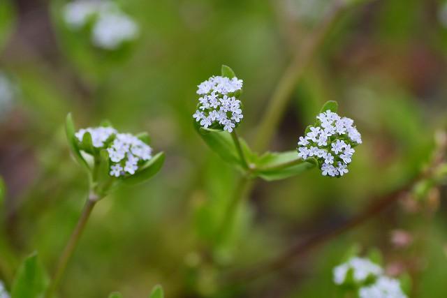 小さな花がまとまって咲くノヂシャ