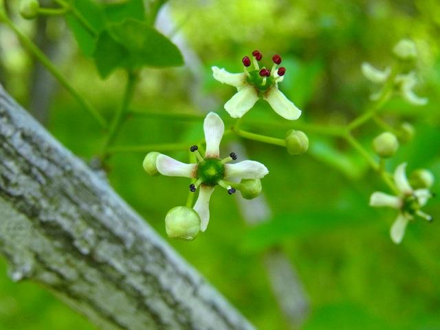 綺麗だね、マユミの花なんだね!