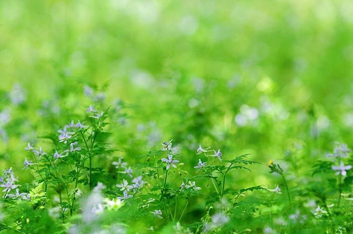 芹葉飛燕草