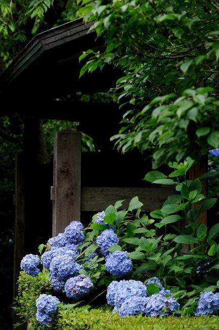 鎌倉紫陽花散歩