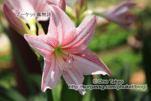 この記事「プーケットの花・・2」の写真 (358-016)